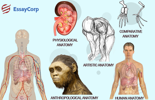 Anatomy Assignment Help Services | EssayCorp