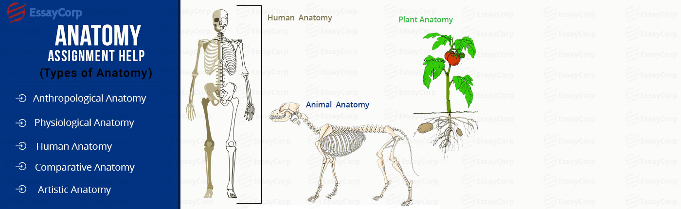 anatomy-assignment-help